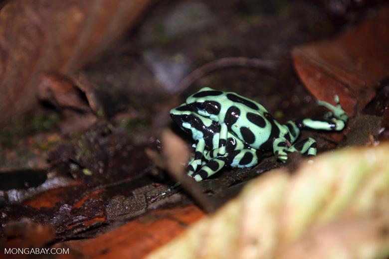 Green-and-black poison dart frogs fighting [costa_rica_la_selva_1036]