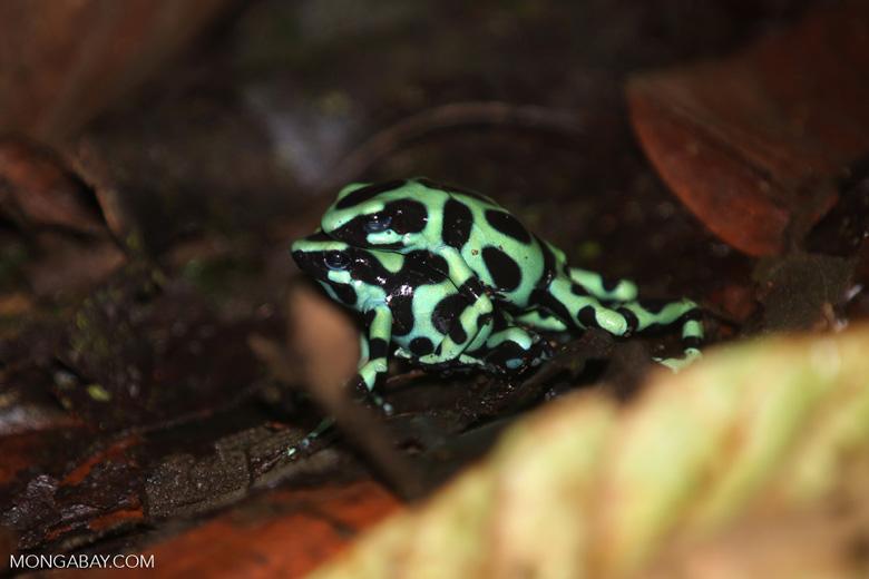 Green-and-black poison dart frogs fighting [costa_rica_la_selva_1038]