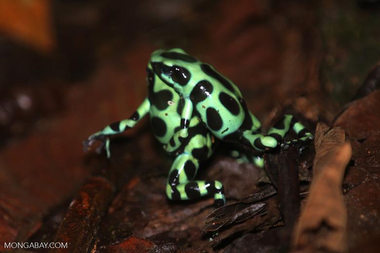 Green-and-black poison dart frogs fighting [costa_rica_la_selva_1039]