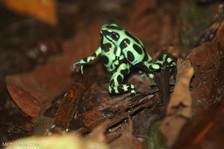 Green-and-black poison dart frogs fighting [costa_rica_la_selva_1040]