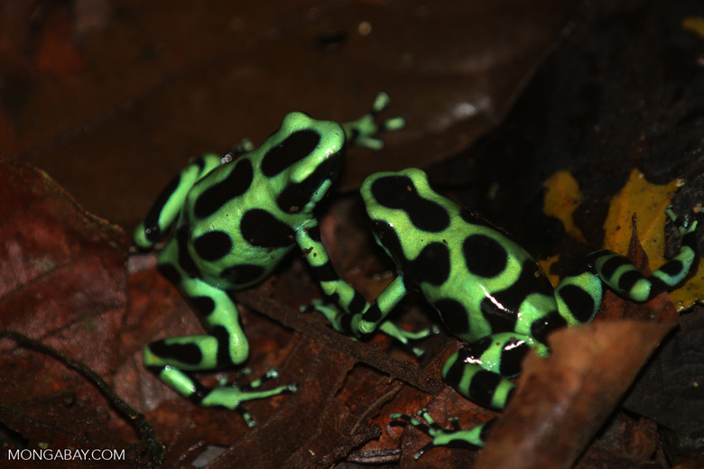Green-and-black poison dart frogs fighting [costa_rica_la_selva_1049]
