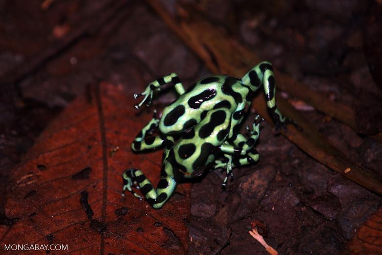 Green-and-black poison dart frogs fighting [costa_rica_la_selva_1057]
