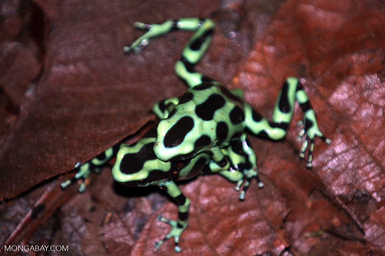 Green-and-black poison dart frogs fighting [costa_rica_la_selva_1060]
