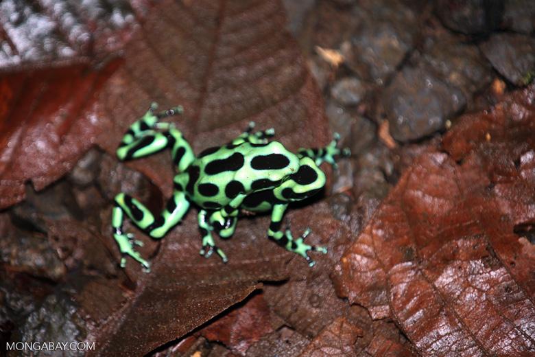 Green-and-black poison dart frogs fighting [costa_rica_la_selva_1061]