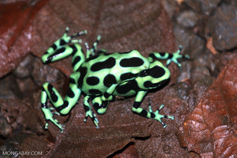 Green-and-black poison dart frogs fighting [costa_rica_la_selva_1062]