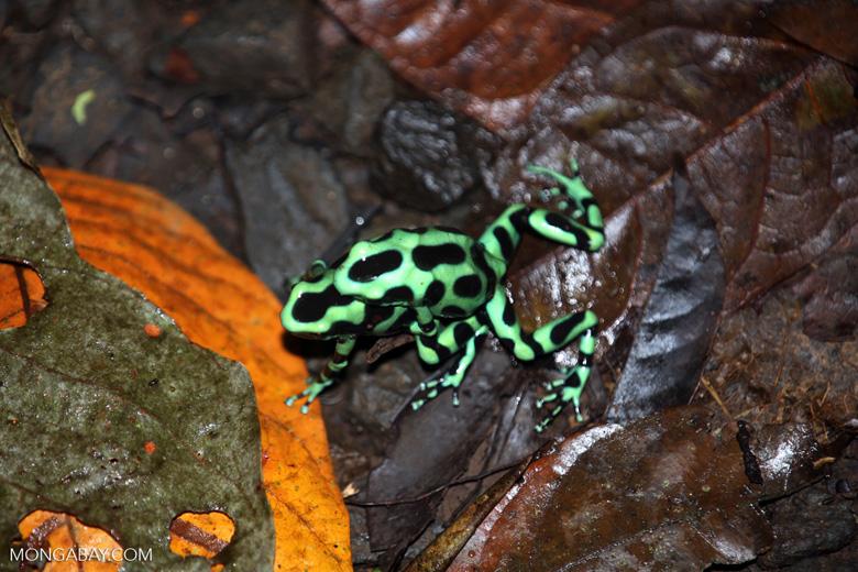 Green-and-black poison dart frogs fighting [costa_rica_la_selva_1066]