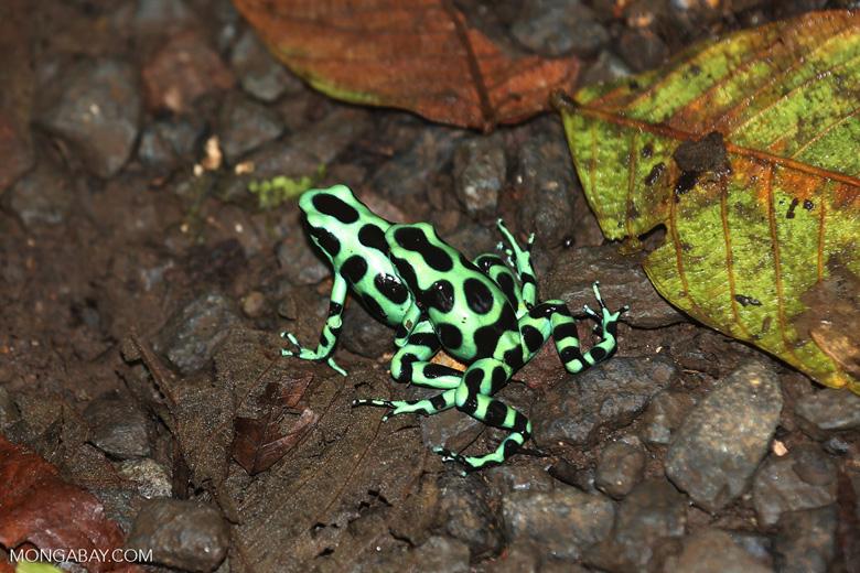 Green-and-black poison dart frogs fighting [costa_rica_la_selva_1070]