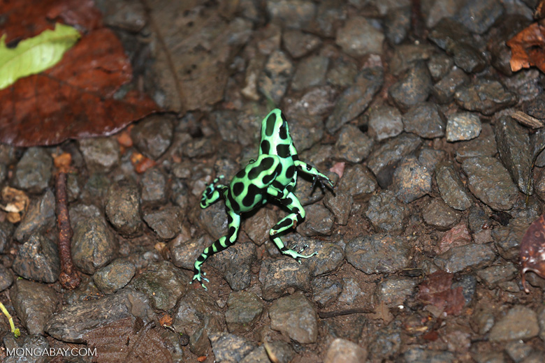 Green-and-black poison dart frogs fighting [costa_rica_la_selva_1073]