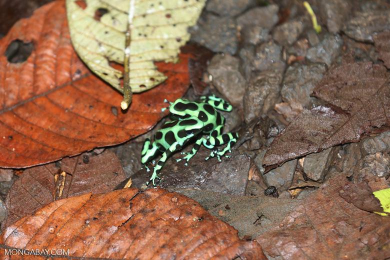 Green-and-black poison dart frogs fighting [costa_rica_la_selva_1091]