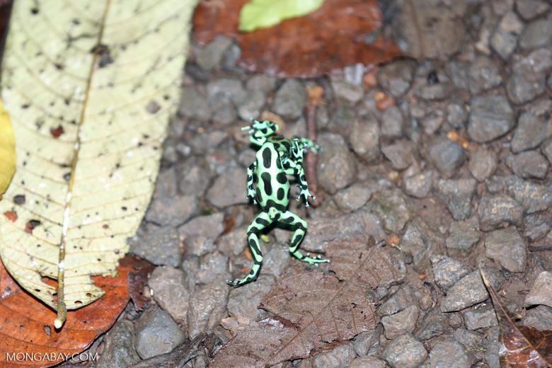 Green-and-black poison dart frogs fighting [costa_rica_la_selva_1104]