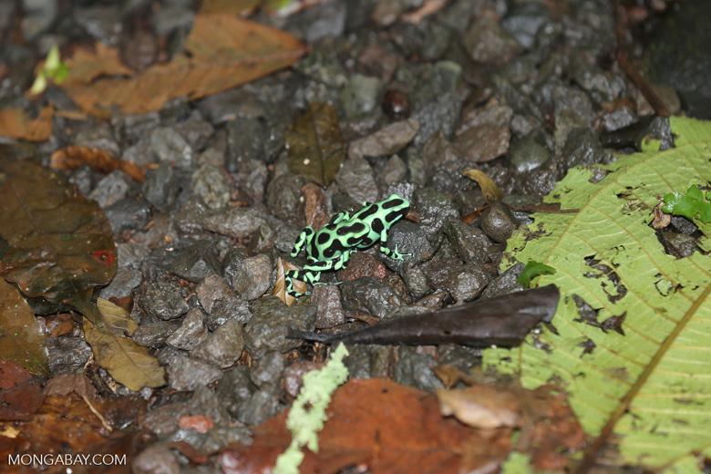 Green-and-black poison dart frogs fighting [costa_rica_la_selva_1106]