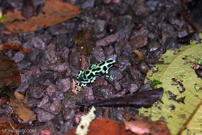 Green-and-black poison dart frogs fighting [costa_rica_la_selva_1107]