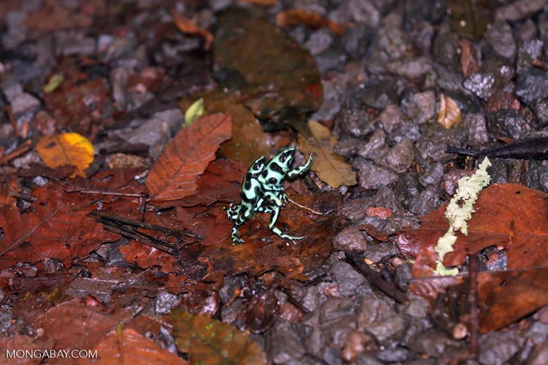 Green-and-black poison dart frogs fighting [costa_rica_la_selva_1111]