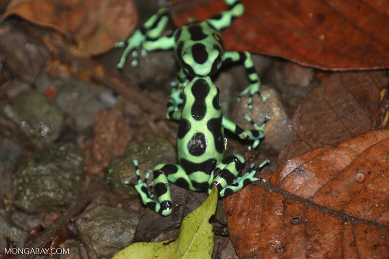 Green-and-black poison dart frogs fighting [costa_rica_la_selva_1116]