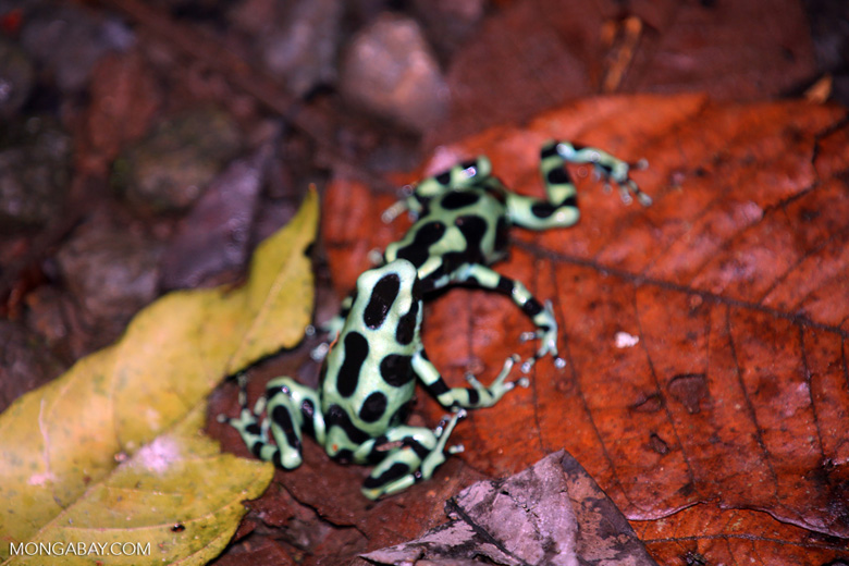 Green-and-black poison dart frogs fighting [costa_rica_la_selva_1120]