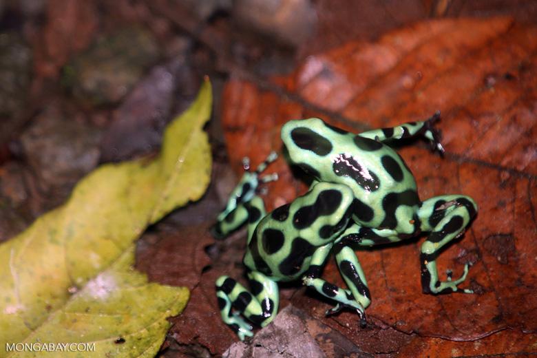 Green-and-black poison dart frogs fighting [costa_rica_la_selva_1123]