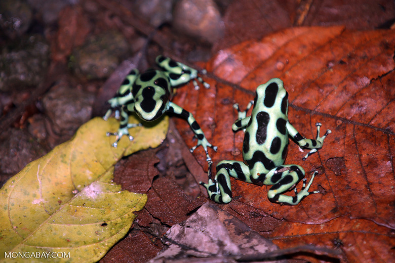 Green-and-black poison dart frogs fighting [costa_rica_la_selva_1124]