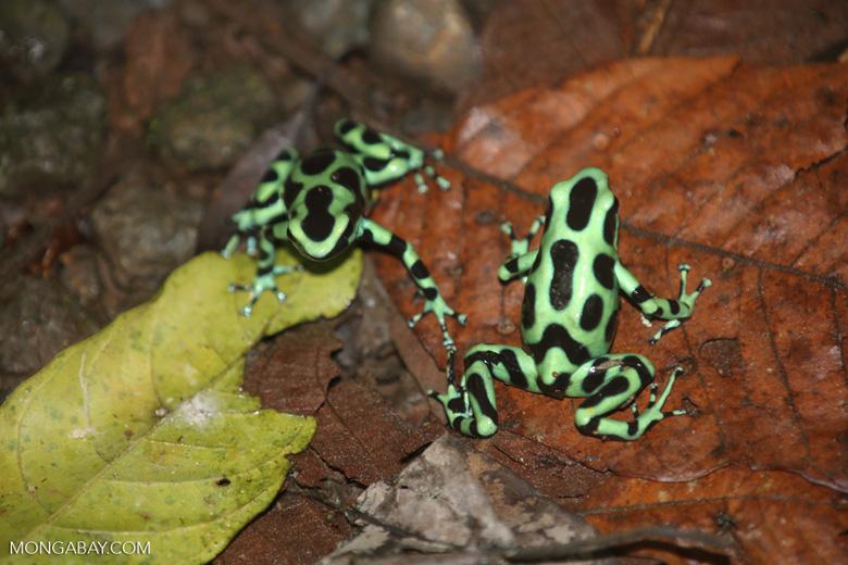 Green-and-black poison dart frogs fighting [costa_rica_la_selva_1125]