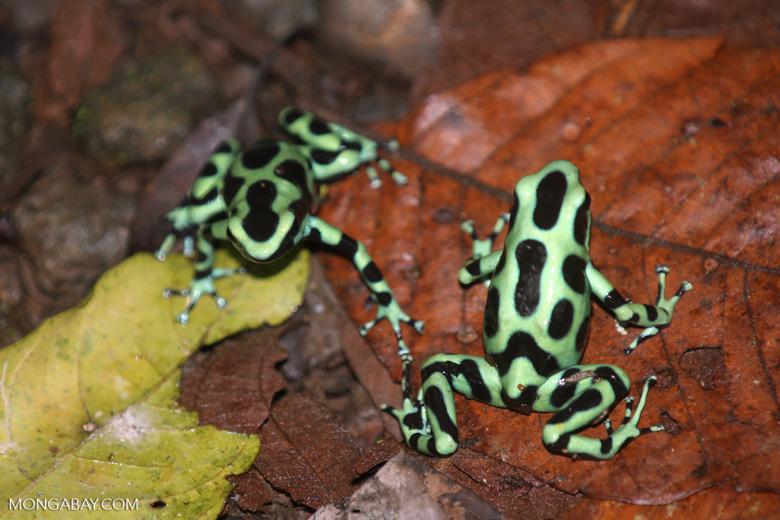Green-and-black poison dart frogs fighting [costa_rica_la_selva_1126]