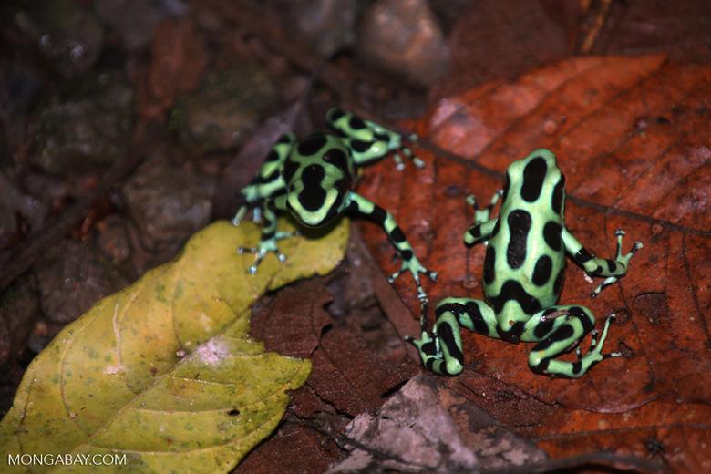 Green-and-black poison dart frogs fighting [costa_rica_la_selva_1127]