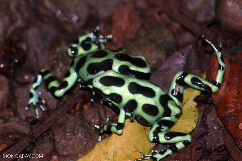 Green-and-black poison dart frogs fighting [costa_rica_la_selva_1129]