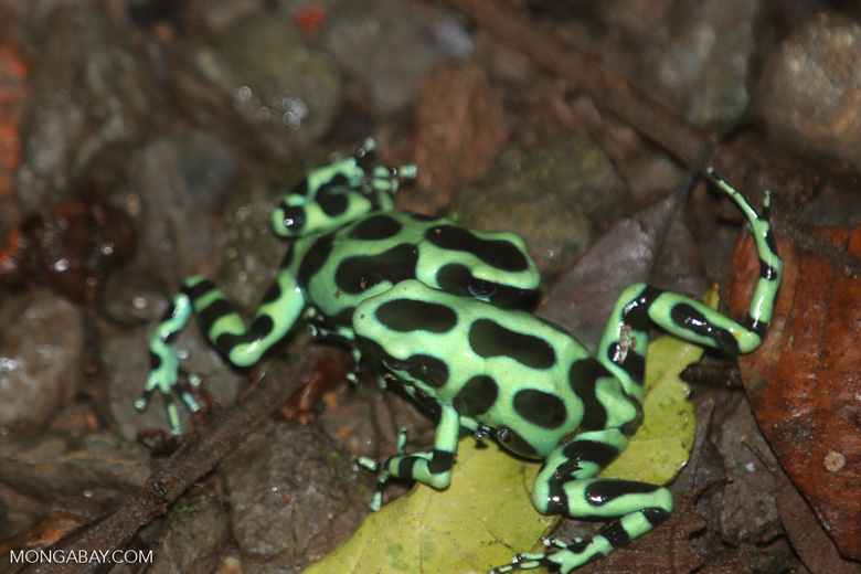 Green-and-black poison dart frogs fighting [costa_rica_la_selva_1130]