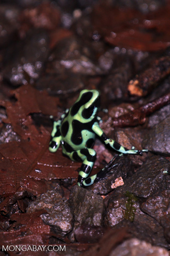 Green-and-black poison dart frogs fighting [costa_rica_la_selva_1136]