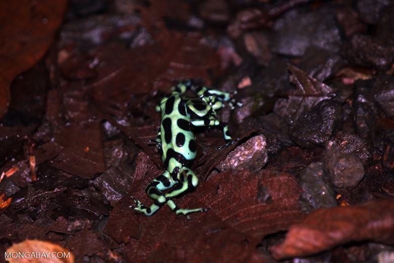 Green-and-black poison dart frogs fighting [costa_rica_la_selva_1139]
