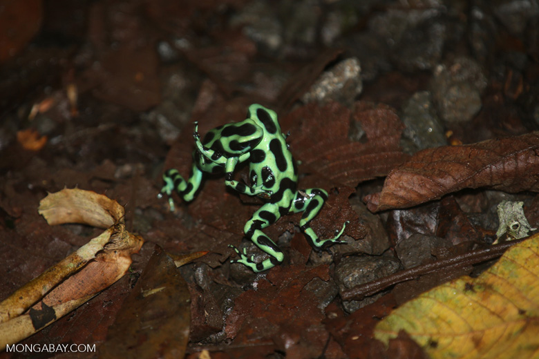 Green-and-black poison dart frogs fighting [costa_rica_la_selva_1142]