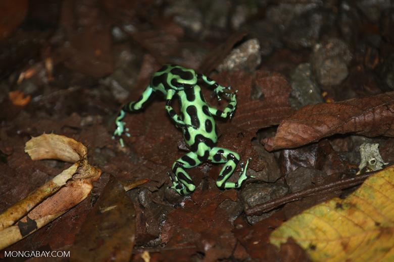 Green-and-black poison dart frogs fighting [costa_rica_la_selva_1143]