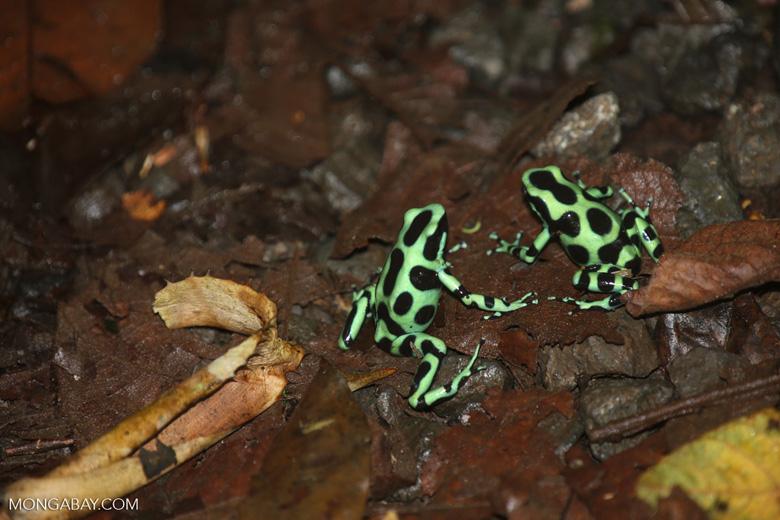 Green-and-black poison dart frogs fighting [costa_rica_la_selva_1147]