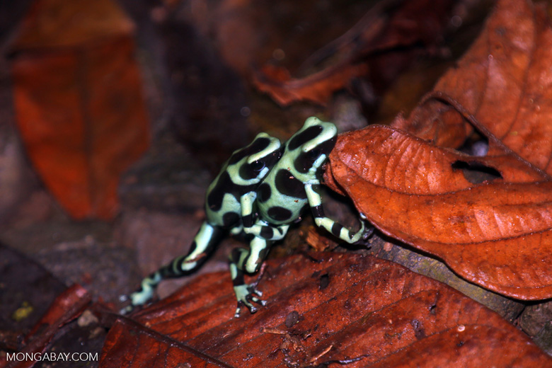 Green-and-black poison dart frogs fighting [costa_rica_la_selva_1169]