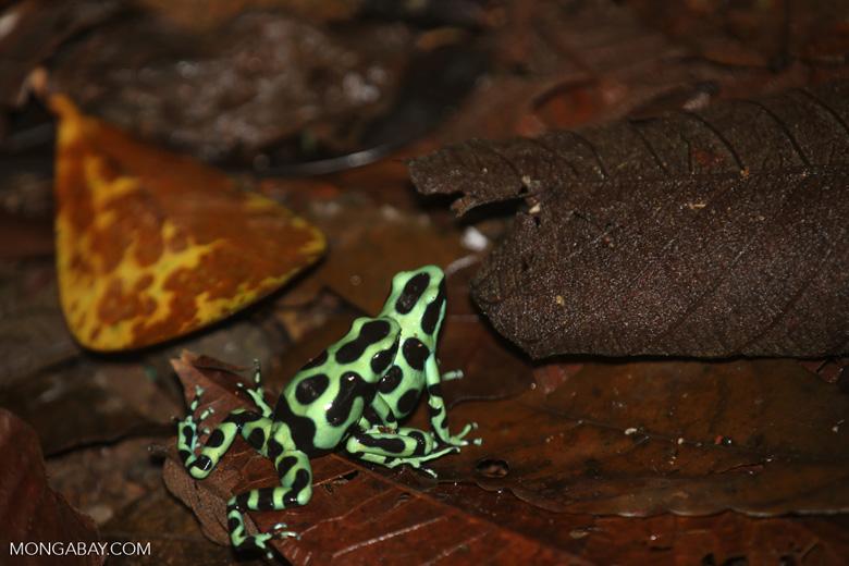 Green-and-black poison dart frogs fighting [costa_rica_la_selva_1173]