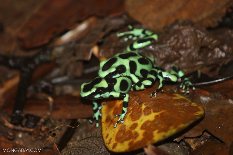 Green-and-black poison dart frogs fighting [costa_rica_la_selva_1178]
