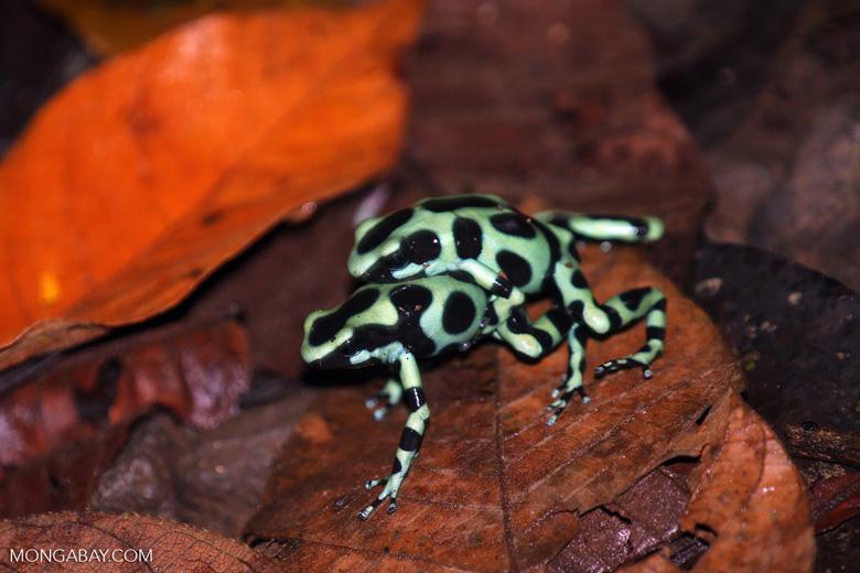 Green-and-black poison dart frogs fighting [costa_rica_la_selva_1180]