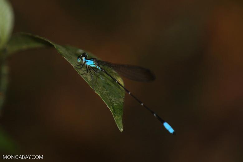 Blue damselfly [costa_rica_la_selva_1199]