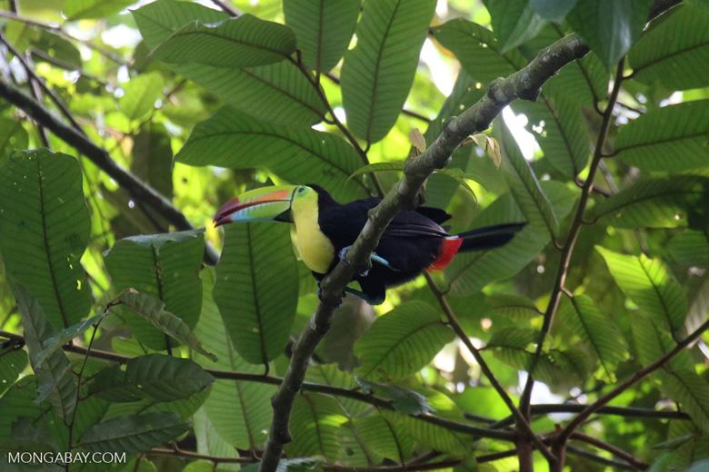 Keel-billed Toucan (Ramphastos sulfuratus) [costa_rica_la_selva_1206]
