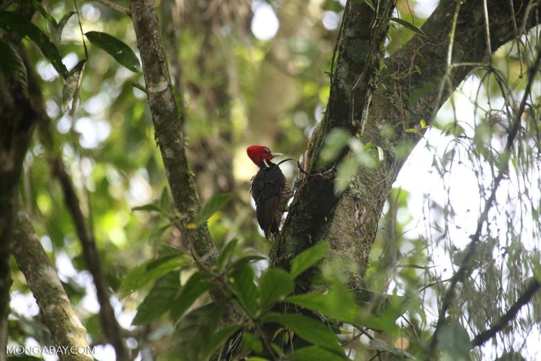 Pale-billed woodpecker [costa_rica_la_selva_1218]