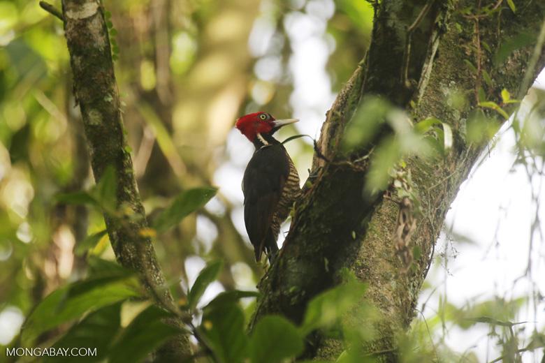 Pale-billed woodpecker [costa_rica_la_selva_1226]
