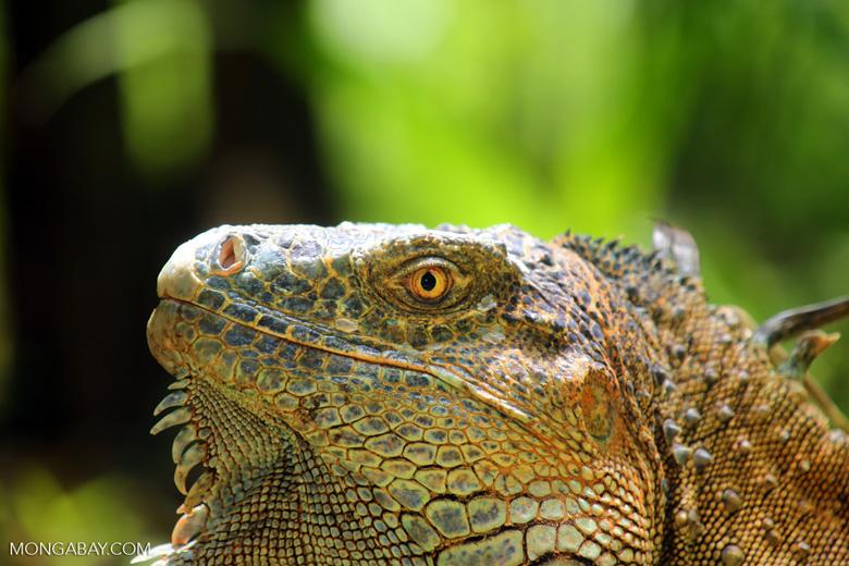 Green iguana climbing a tree [costa_rica_la_selva_1236]