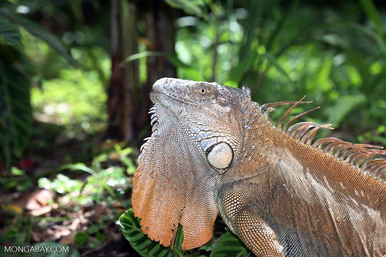 Green iguana climbing a tree [costa_rica_la_selva_1243]