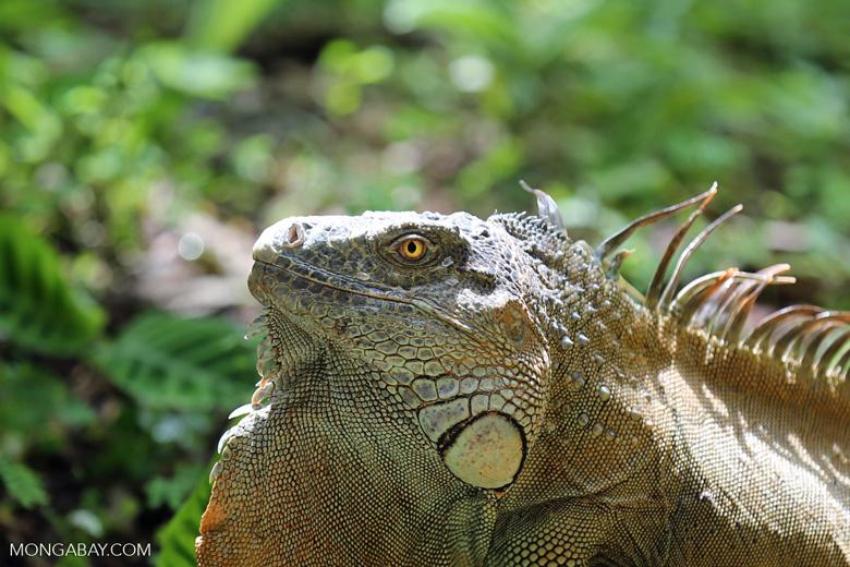 Green iguana climbing a tree [costa_rica_la_selva_1251]