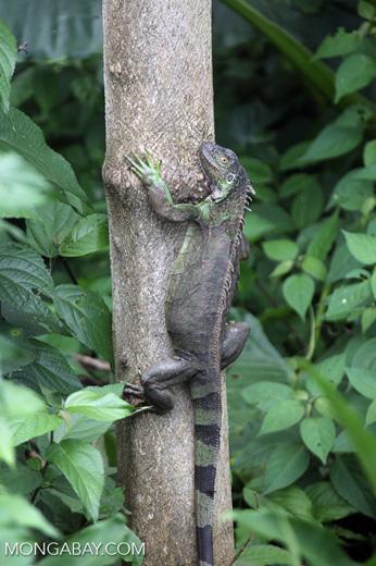 Green iguana climbing a tree [costa_rica_la_selva_1259]