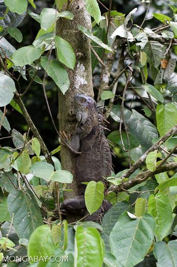 Green iguana climbing a tree [costa_rica_la_selva_1262]