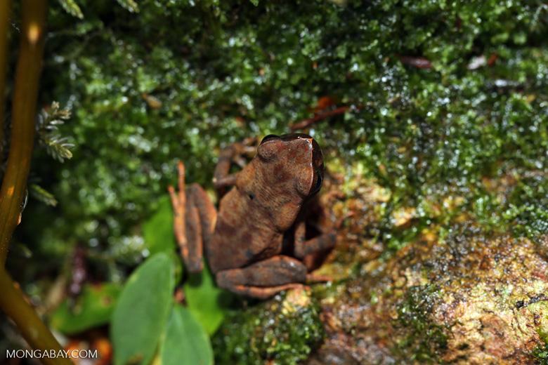 Rhaebo haematiticus frog [costa_rica_la_selva_1309]