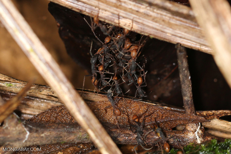 Army ants building an ant bridge