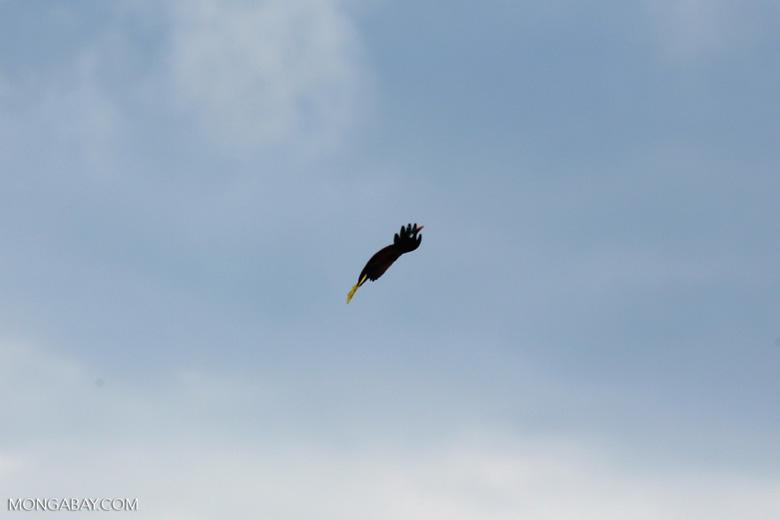Oropendula in flight [costa_rica_la_selva_1372]
