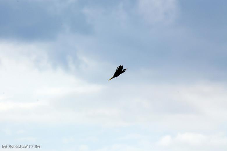 Oropendula in flight [costa_rica_la_selva_1373]