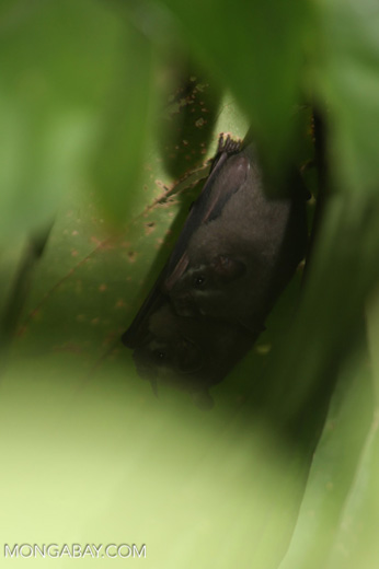 Tent-making bats (Uroderma bilobatum) [costa_rica_la_selva_1399]