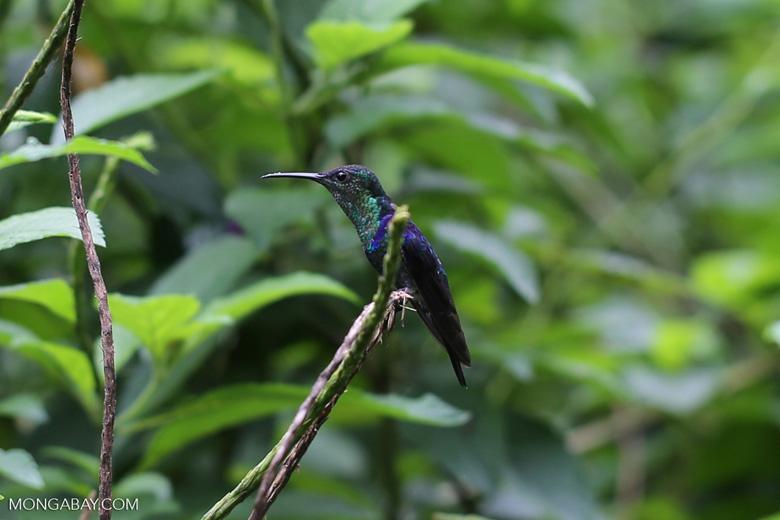 Hummingbirds [costa_rica_la_selva_1419]